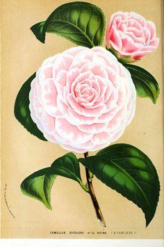 Botanical - Flore des Seres et Des Jardins de L'Europe - Camilla