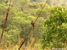 Gibão-de-couro (Hirundinea ferruginea). Foto feita na sede do Parque Curucutu em São Paulo/SP, em Dezembro/13.