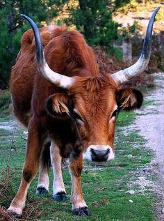 En Galicia, con mi hermano; que se fue a criar esta raza de vaca (cachena) autóctona y en breve tendrá 44....en Couso, Pobra do Brollon, Lugo.