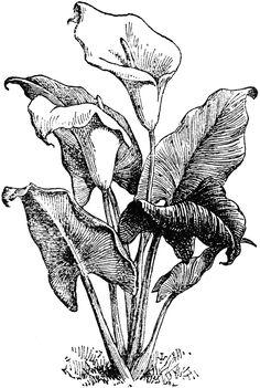 Zantedeschia Aethiopica Botanical Drawings, Botanical Art, Botanical Illustration, Ink Pen Drawings, Realistic Drawings, Engraving Illustration, Illustration Art, Zantedeschia Aethiopica, Floral Drawing
