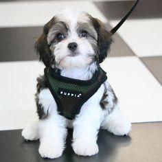 Caper | Cavapoochon [Cavalier King Charles Spaniel, Bichon Frise & Toy Poodle] #cavalierkingcharlesspaniel #cavapoo #cavachon #cavapoochon #poodle #toypoodle #bichon #bichonfrise #poodlesofpinterest #bichonsofpinterest #cavaliersofpinterest #cav