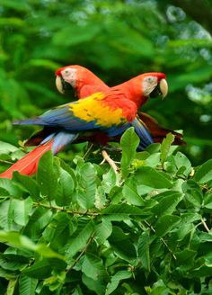 Costa Rica Scarlet Macaws - mate for a lifetime