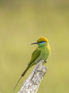 Little Green bee-eater by Beena Balasubramaniam on 500px