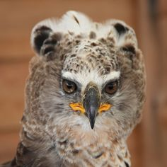 Crowned eagle #bird #nature #animal