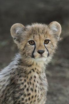 Cheetah Cub Portrait Beautiful