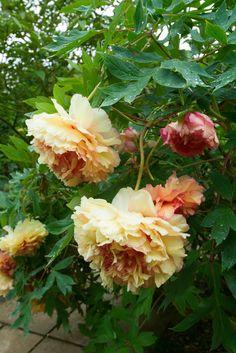 。¯\(ツ)/¯bebe says, ♥-`҉҉´--`҉҉´- -`҉҉´- ☼ . ღ 。★。Paeonia 'Souvenir de Maxim Cornu', Hunmanby Grange, Yorkshire; Beautiful Roses, Flower Garden, All Flowers, Pretty Flowers, Beautiful Blooms, Beautiful Flowers, Peonies Garden, Chelsea Flower Show, Beautiful Gardens