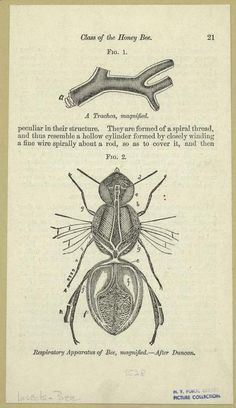 """Breathing! Breathing is boring."" Respiratory apparatus of the bee, 1884"