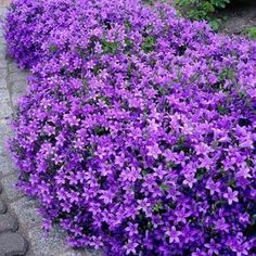 18 Best Flowering Ground Cover Plants Campanula portenschlagiana or 'Dalmatian Bellflower' is a beautiful annual or perennial plant that forms a mat of small rounded leaves. The flowers are star-shaped, blue-purple in color that blooms from spring through Outdoor Plants, Garden Plants, Outdoor Gardens, Garden Shrubs, Flowers Perennials, Planting Flowers, Purple Perennials, Purple Perrenial Flowers, Flower Gardening