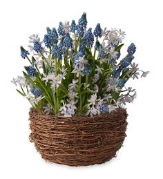 Grape Hyacinths And White Scilla Bulb Garden In Live Plants And Bulbs