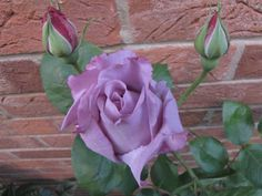 'Blue Moon' rose, my favourite