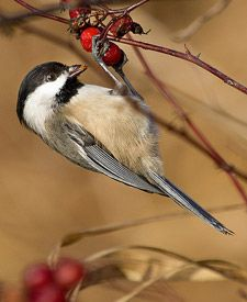 Black-capped Chickadee nesting info