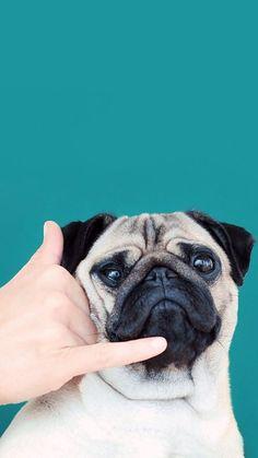 New Dogs Wallpaper Pug Ideas Dog Wallpaper Iphone, Cute Dog Wallpaper, Animal Wallpaper, Iphone Backgrounds, Iphone Wallpapers, Wallpaper Backgrounds, Funny Animals, Cute Animals, Pug Puppies