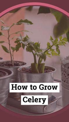 Garden Yard Ideas, Veg Garden, Garden Care, Indoor Garden, Grow Celery, Celery Plant, Gardening For Beginners, Gardening Tips, Small Vegetable Gardens