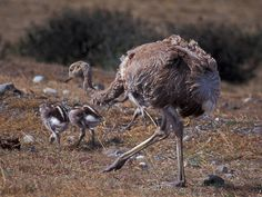 Adult lesser rhea with chicks - View amazing Lesser rhea photos - Rhea pennata - on Arkive Patagonia, Pumas, Birds, Animals, Image, Google Search, Animaux, Bird, Animal