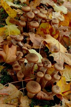 "Autumn in Poland  ""opieńki"" - Honey fungi. Bring on mashroom pickers! Zapraszamy grzybiarzy."