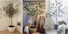 Move over, succulents, olive trees are taking over