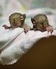 baby squirrels << #waitingforRedsandGrays