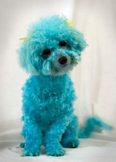 turquoise poodle, too cute Pekinese, Shades Of Turquoise, Wedding Locations, Wedding Venues, Tiffany Blue, My Favorite Color, Poodle, Puppy Love, Blue Nails