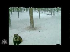 Glacier National Park is researching the elusive wolverine - an indicator of ecosystem health and a symbol of Canadian wilderness. In this video a Parks Canada research camera captured an amazing glimpse of wolverine behaviour - tenacious and curious this is a small animal with a mighty spirit. But despite a fierce reputation even the Wolverine faces decline, learn more about this incredible but endangered species: http://wolverinefoundation.org/