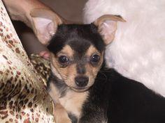 Chihuahua - looks just like my chihuahua Max!!