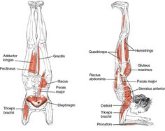 Yoga position | positie | Anatomy of the Peacock Pose. Strengthens the shoulders, arms, and back. Stretches the shoulder, neck, chest and belly. Improves Balance and calmes the brain as well as relieve stress and depression. (Leslie Kaminoff's Yoga Anatomy)