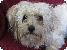 Corona, CA - Maltese Mix. Meet Kennel 9, a dog for adoption. http://www.adoptapet.com/pet/13098580-corona-california-maltese-mix