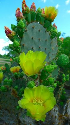 Prickly Pear Cactus in bloom.I first saw these in Texas, and they grow wild here in Florida too Cacti And Succulents, Planting Succulents, Planting Flowers, Exotic Flowers, Beautiful Flowers, Green Flowers, Cactus E Suculentas, Cactus Plante, Prickly Pear Cactus
