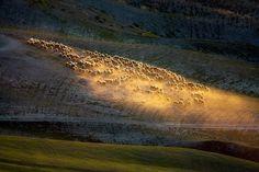 Flocks of Sheep Roam Across the Tuscan Countryside in Breathtaking Aerial Photos - My Modern Met