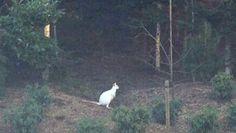 Wit kangaroo gevang - in Nederland