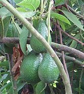 How To Plant An Avocado Seed