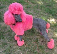 Phantom poodle/creative grooming. Pretty in pink.