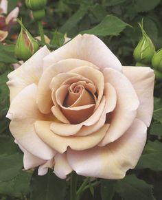 RP: Koko Loko™ | Floribunda Rose, mildly scented.