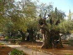 The Garden of Gethsemane. Today. The age-old trees on the Mount of Olives. Jerusalem, Israel | Гефсиманський сад сьогодні. Віковічні дерева на Оливній горі. Єрусалим, Ізраїль