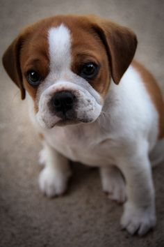 The boys are trying really hard to convince me into getting a puppy. Finding a puggle (pug and beagle) like this is the only way I can be convinced. So cute!