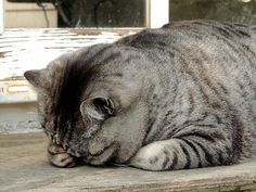 Grey Tabby Cats, Kitty, Miu Miu, Funny, Animals, Cat Breeds, Little Kitty, Animales, Animaux