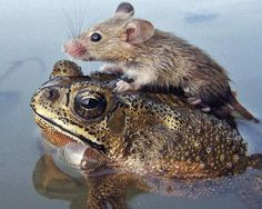 In 2006, a photographer in India snapped this photo of a mouse perched on the back of a frog as floodwaters rose. The annual summer monsoon rains arrived early that year, but this lucky little mouse managed to keep its head above water, thanks to a froggy friendship.  Check out more unlikely animal friends!