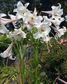 Specializing in rare and unusual annual and perennial plants, including cottage garden heirlooms and hard to find California native wildflowers. Colorful Flowers, White Flowers, Beautiful Flowers, Moon Garden, Garden Oasis, Trumpet Lily, Garden Bulbs, Seed Pods, Ficus