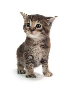 Cute tabby kitten standing on white Wall Decal