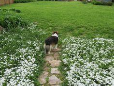 Sheltie in spring grass