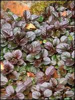 Ajuga reptans - a shade-loving, frost-hardy ground cover that bears dainty flowers come spring. Native Plants, Horticulture, Nativity, Garden Ideas, Flowers, Garden Planning, The Nativity, Landscaping Ideas, Backyard Ideas