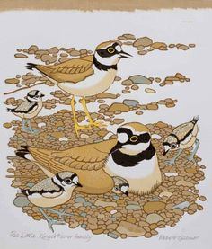 Little Ringed Plover Family by Robert Gillmor (H - Saw one of these on edge of Thorney Island on H and I of W walk in a previous year) Horse Drawings, Art Drawings, Drawing Art, Nature Prints, Art Prints, Celebrity Drawings, Sketch Painting, Native Art, Wildlife Art