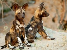 African wild dogs live in packs that are usually dominated by a monogamous breeding pair. The female has a litter of 2 to 20 pups, which are cared for by the entire pack. These dogs are very social, and packs have been known to share food and to assist weak or ill members. : Awwducational