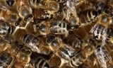 Bee study lifts lid on hive habits - The Guardian | ViGG