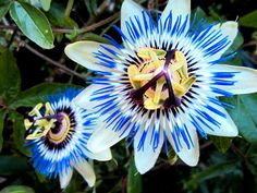 Passion flowers are my favorite flowers! they have such great meaning behind them!