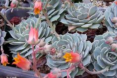 Hen and Chicks (Echeveria flamea) evergreen succulent 8 in. in height with a 1-2 ft. spread, ground hugging, clusters of small pink and yellow bell-shaped flowers spring and summer, narrow blue-green leaves, full sun to part shade, very drought tolerant, great for rock gardens, deer resistant.