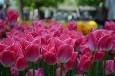 2014-04-24 morges Rose, Flowers, Plants, Switzerland, Pink, Florals, Roses, Planters, Flower