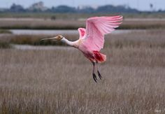 An island Spoonbill comes in for a graceful landing