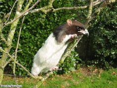 Eagle Rat