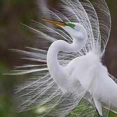 "mating plummage of the great white egret ~ aka: ""angel bird"""