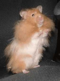 Teddy Bear Hamsters on Pinterest | Syrian Hamster, Hamsters and Teddy ...